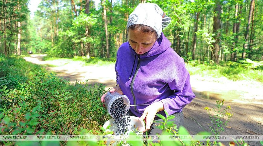 В Брестском районе выдался хороший урожай черники