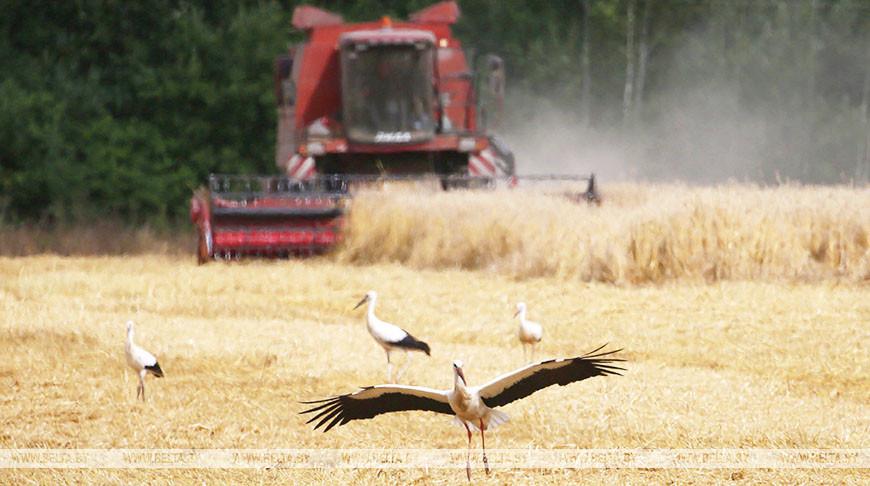 Механизаторы БГСХПЛ завершили уборку зерновых
