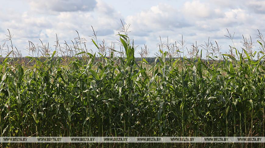 Уборка кукурузы идет в Витебском районе