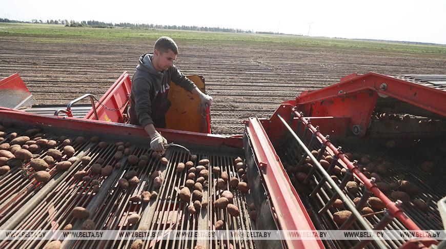 В стабфонд Могилевской области заложат 3,7 тыс. т картофеля и более 1,8 тыс. т капусты