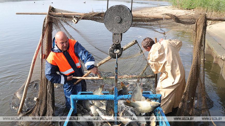 """Массовый вылов рыбы в рыбхозе """"Свислочь"""""""