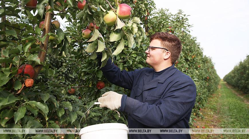 """В садах СПК """"Прогресс-Вертелишки"""" идет сбор урожая яблок"""
