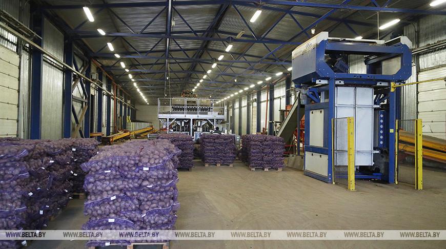 """В хранилище СПК """"Гигант"""" Бобруйского района заложили 11 тыс. т картофеля"""