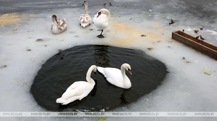 В Гомельском районе сотрудники МЧС спасли лебедя