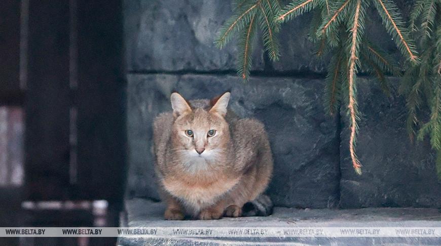 Камышовая кошка Катя появилась в Минском зоопарке