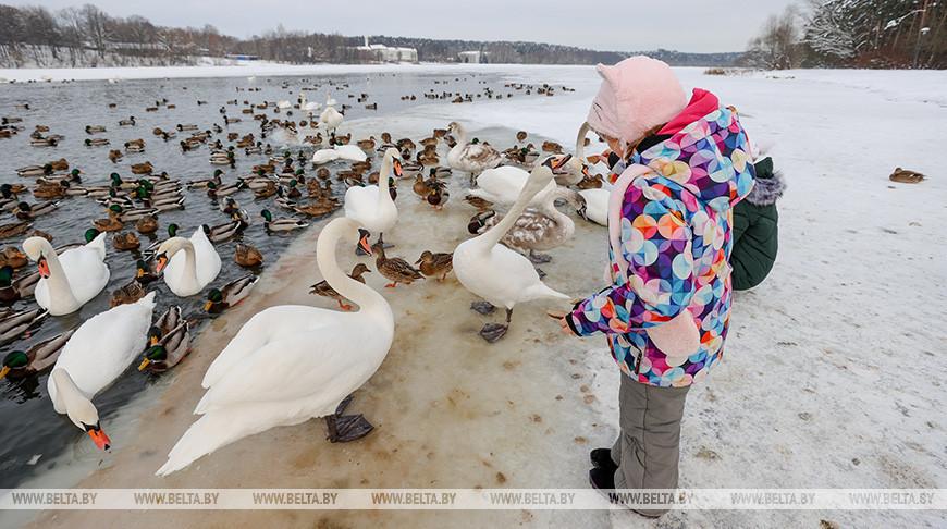 Лебеди зимуют на водоеме под Минском