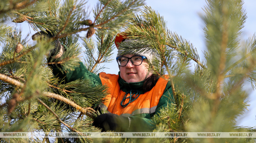 Заготовка семян хвойных деревьев идет в Ивацевичском лесхозе