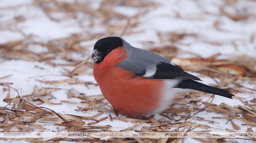 В Гродно прилетели снегири