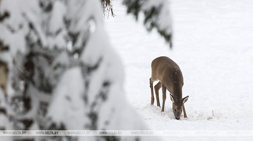 В Узденском лесхозе подкармливают диких животных в зимний период