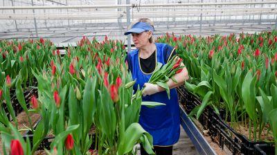 170 тыс. тюльпанов и 50 тыс. роз подготовил Минский парниково-тепличный комбинат к 8 Марта
