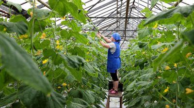 """Почти 5 тыс. т овощей планируют вырастить в этом году в теплицах СПК """"Рассвет"""""""
