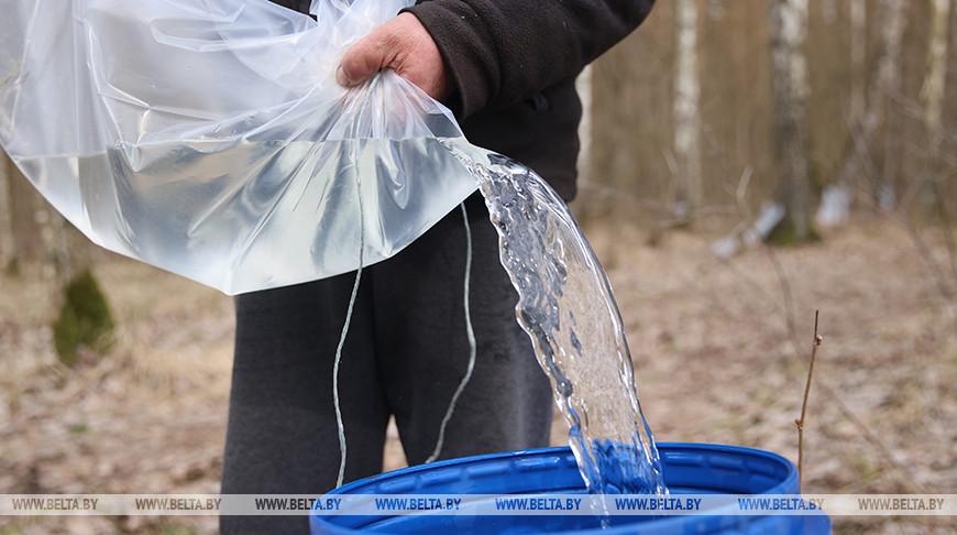 В Гродненской области началась заготовка березового сока