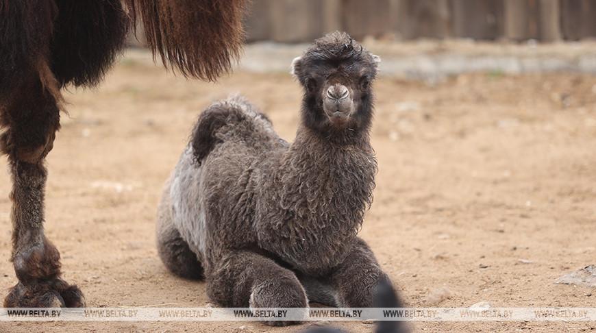 В Минском зоопарке недавно родился верблюжонок