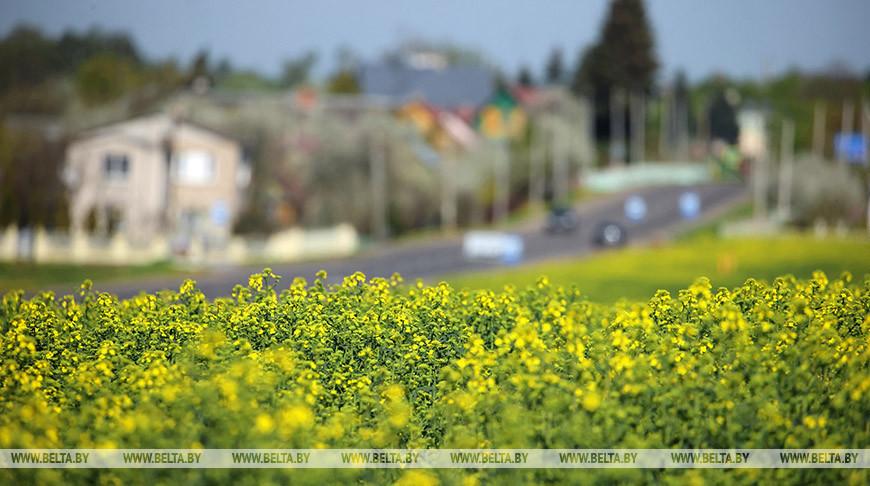 В Гродненском районе цветет рапс