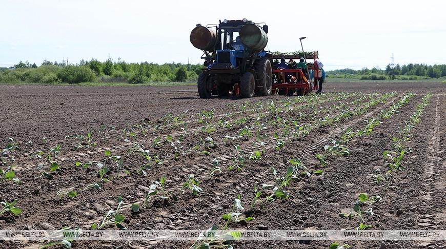 В Могилевском районе сажают капусту