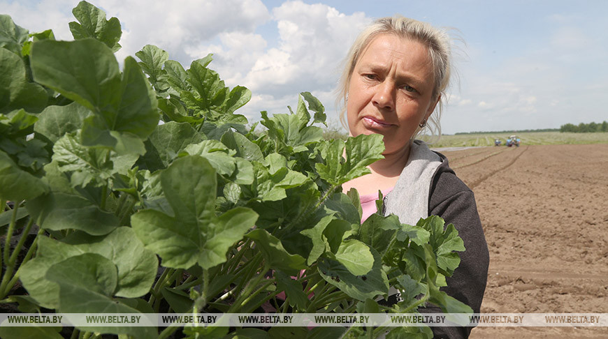 На полях Могилевской области сажают арбузы