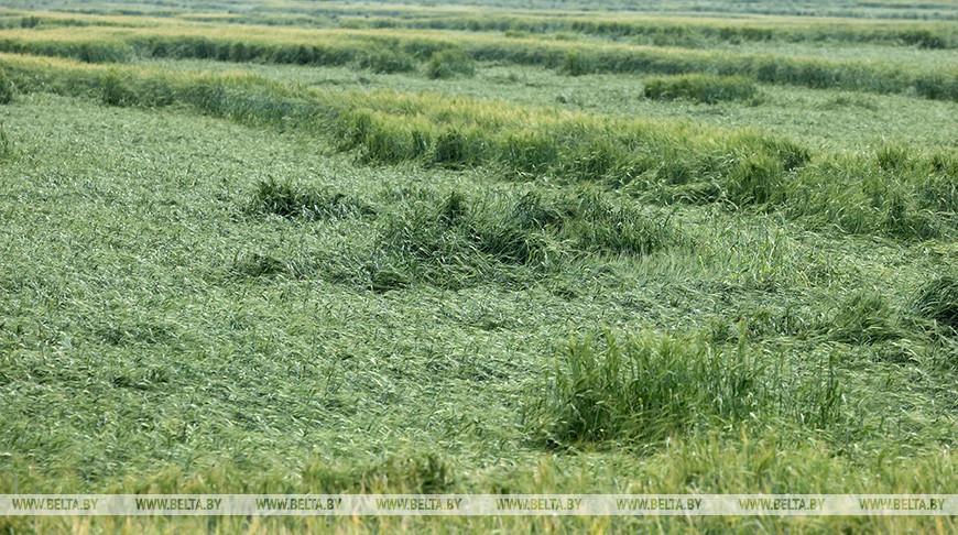 Посевы зерновых в Могилевской области пострадали от проливных дождей