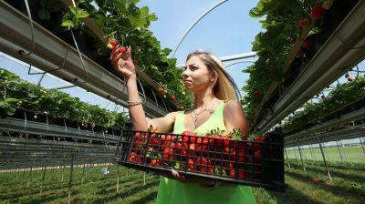 """В Щучинском районе """"Клубника Плантс"""" выращивает 350 т ягоды в год"""
