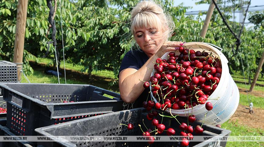 Урожай черешни собирают в Гродненском районе