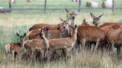 Около 30 телят оленей родилось весной на ферме в Калинковичском районе