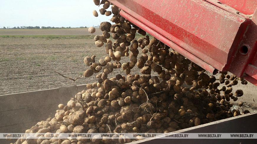 Уборка картофеля идет в Бобруйском районе