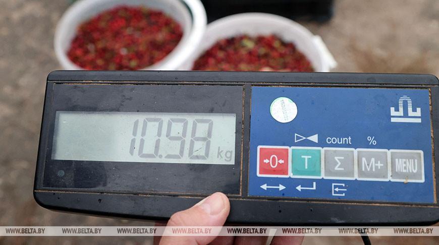 В Кличевском районе в самом разгаре сезон заготовки клюквы