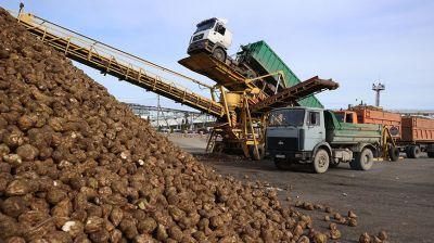 Урожайность сахарной свеклы в Гродненской области на 99 ц/га выше прошлогодней