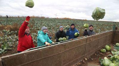 В Могилевском районе во время областного субботника помогают в уборке капусты