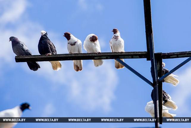 Более 100 птиц насчитывается в голубятне у жителя Пружан