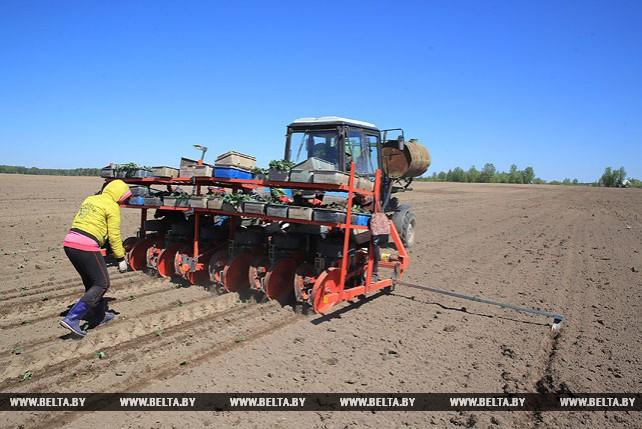 В Могилевском районе приступили к высадке рассады капусты