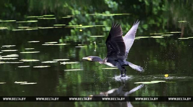 В районе Августовского канала впервые замечен большой баклан