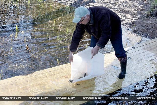 Рака широкопалого заселили в озеро Осиновское в Витебском район
