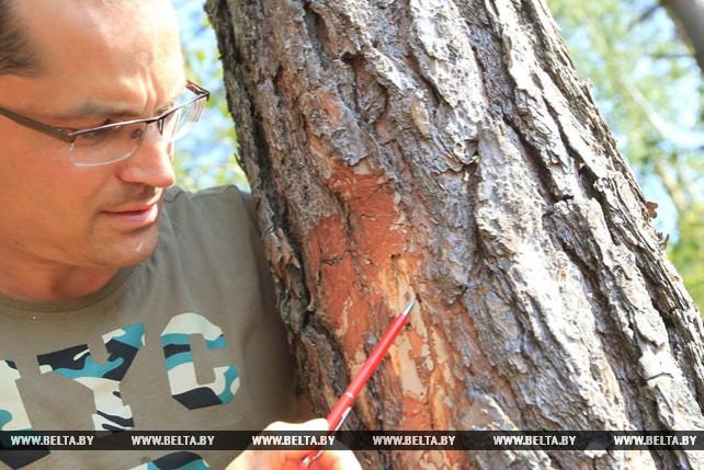 Белорусские лесоводы спасают лес от жука-короеда