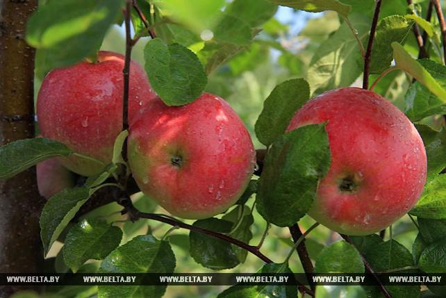 В Могилевском районе приступили к сбору ранних сортов яблок