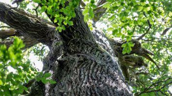 В Малоритском районе растет самое старое дерево Беларуси