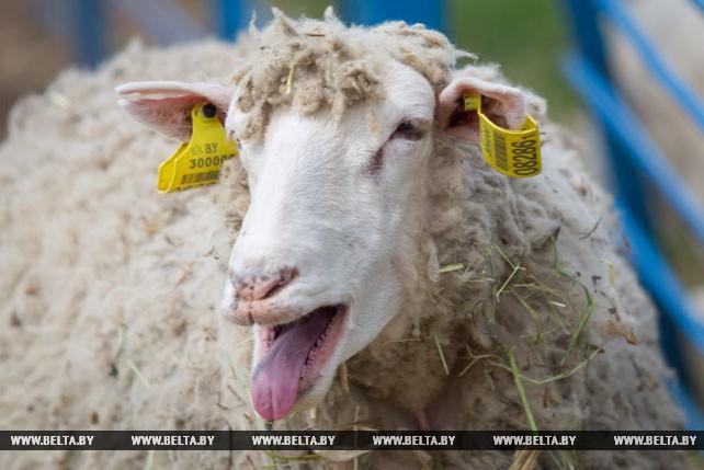 """Около 9 т шерсти планируют получить после завершения стрижки овец в ОАО """"Жеребковичи"""""""