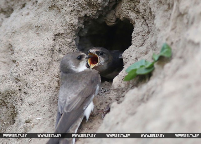 Птицы Беларуси. Береговые ласточки