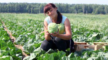 В Могилевском районе приступили к уборке капусты