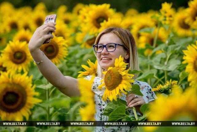 В Брестской области цветут подсолнухи