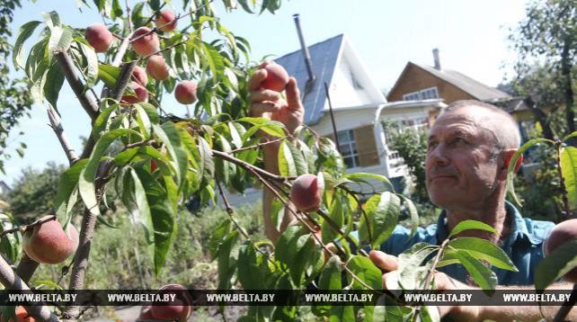 Персики и виноград собирают в Гомельской области
