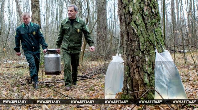 В Брестской области планируется заготовить 5 тыс. т березового сока
