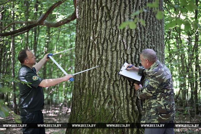 Царь-дуб в Мозырском районе планируется сделать объектом экотуризма