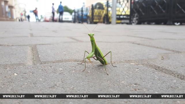 Богомол прогулялся возле ТЮЗа в Минске