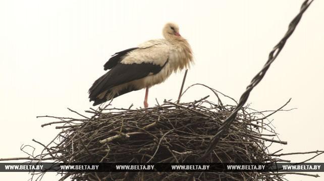Аисты вернулись в Беларусь