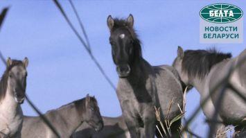 Как живут тарпановидные лошади в Налибокской пуще