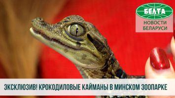 Крокодиловые кайманы в Минском зоопарке