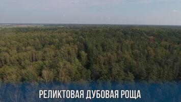 Реликтовая дубовая роща в Осиповичском районе