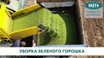 Урожай-2021. Как собирают зеленый горошек в Беларуси