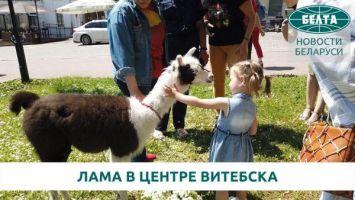 По историческому центру Витебска гуляет лама