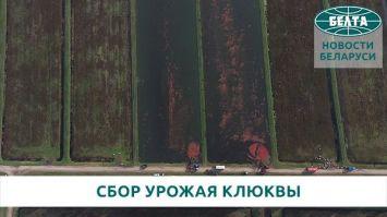 """Сбор урожая клюквы в ОАО """"Полесские журавины"""""""